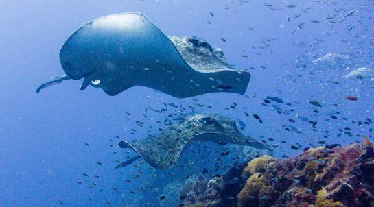 Bull-Rays-SS-Yongala-Australia Dive