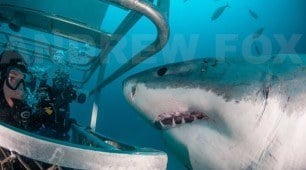 Experience the thrill of diving with Great White Sharks