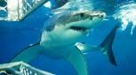 Eyre Peninsula Great White Shark Dive