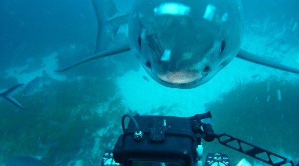 shark dive South Australia with Rodney Fox
