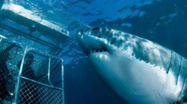 Great white shark dive in South Australia
