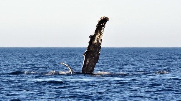Ningaloo Humpback whale tour