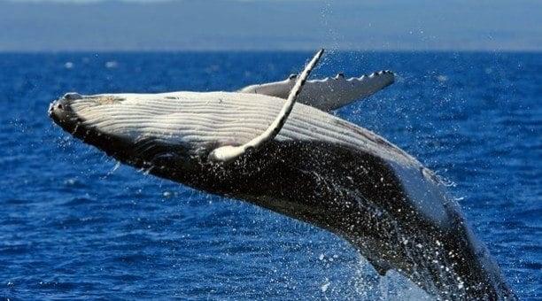 Humpback Whale, Ningaloo Reef