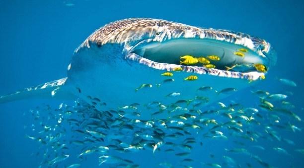 Whale Shark (Rhincodon typus) swimming Ningaloo Reef, Western Australia