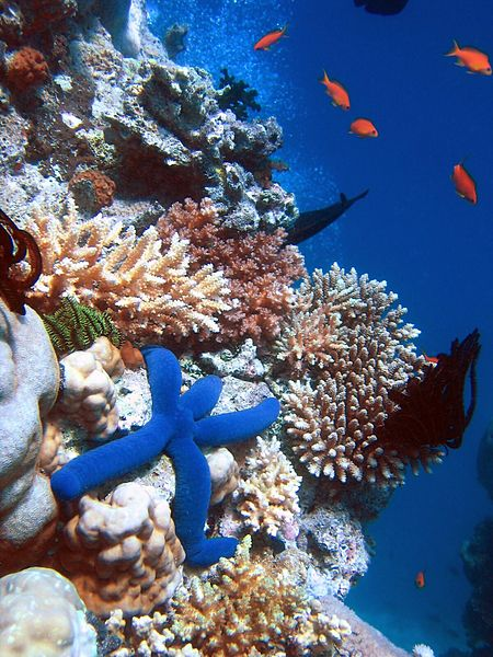 Blue Linckia Starfish - Great Barrier Reef Australia