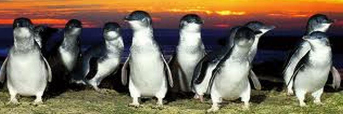 Penguins - Australia Tours