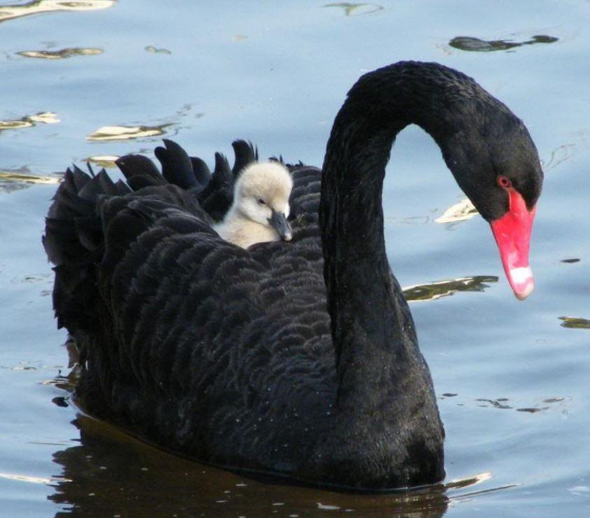 Black Swan - Australia Tours