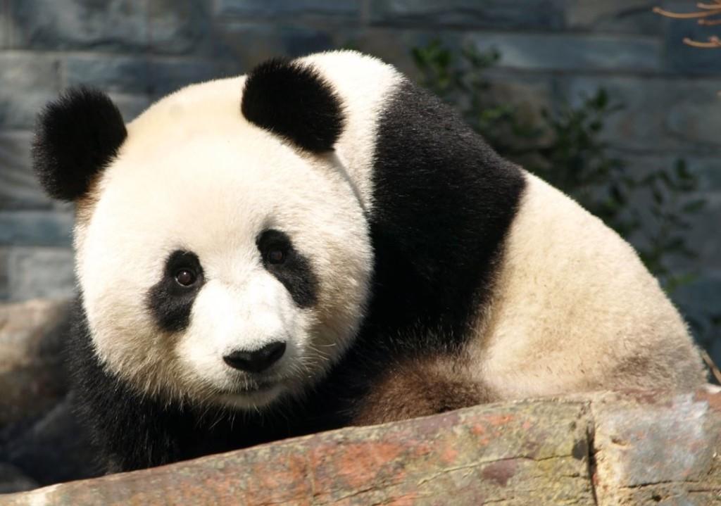 Giant Panda-Australia-Tours