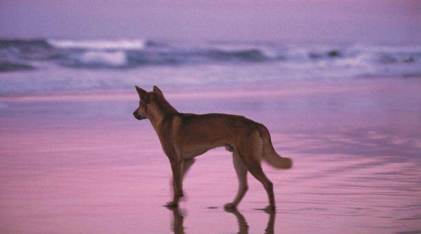 Dingos inhabitat to Fraser Island Beach