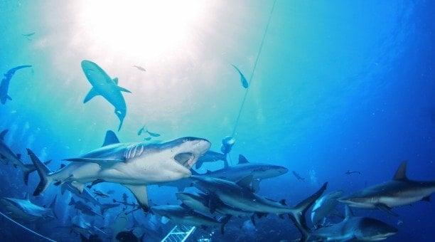 Shark Dive Spirit of Freedom North Queensland Dive Expeditions Australia