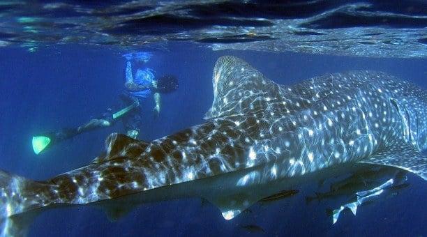 Whale Shark Ningaloo Reef Australia