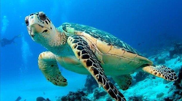 Great Barrier Reef Green Sea Turtle, North Queensland, Australia