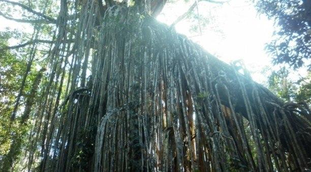 Curtain Fig Tree, Atherton Tablelands, North Queensland,   Australia