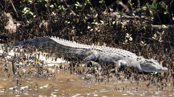 Spot a croc on the river cruise