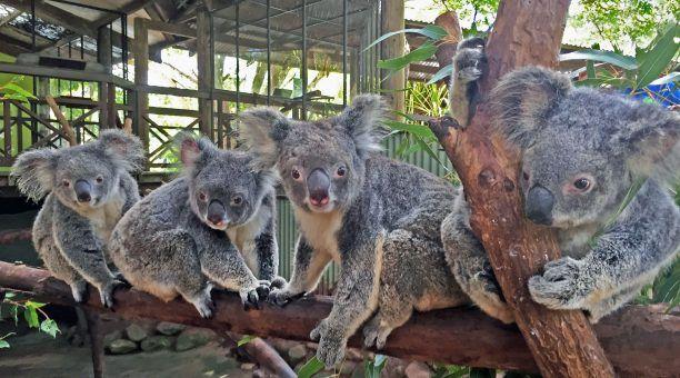 Koalas at Rainforestion Wildlife Park