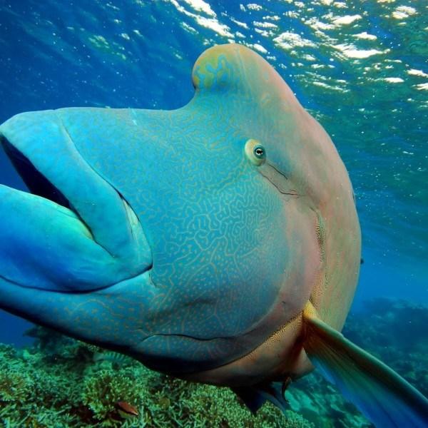 Great Barrier Reef Giant Maori Wrasse, Cairns Australia