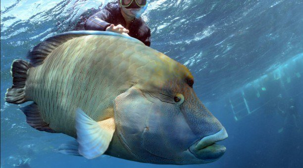 snorkelling with Maori Wrasse