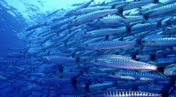 Scuba dive Spirit of Freedom Barracuda, Coral Sea Australia