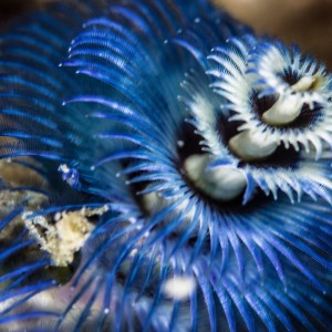 Christmas tree worm is one of the interesting Great Barrier Reef animals you may see at the reef