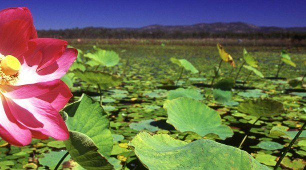 Mareeba wetlands lotus flower, North Queensland Australia