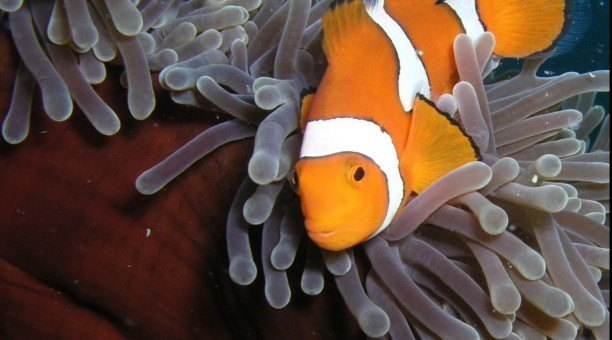 Great Barrier Reef clownfish - Can you find Nemo?