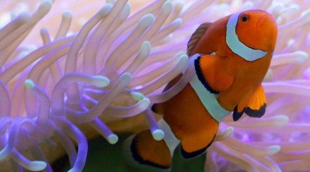 Clownfish Great Barrier Reef Australia