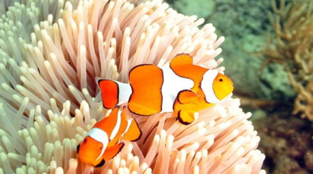 Clown Fish on the Outer Great Barrier Reef