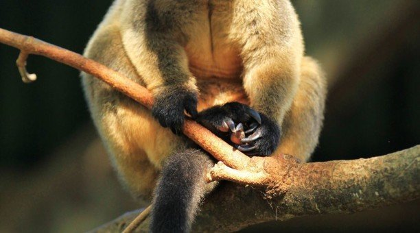 Lumhotlz tree kangaroo, North Queensland Australia