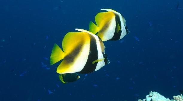 Great Barrier Reef fish