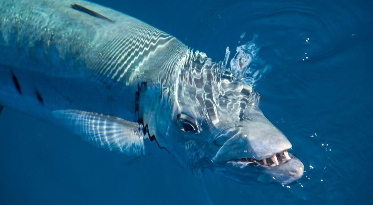 fishing for a barracuda is a must do in Cairns