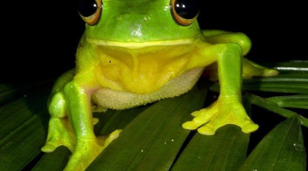 Green Tree Frog, North Queensland Australia