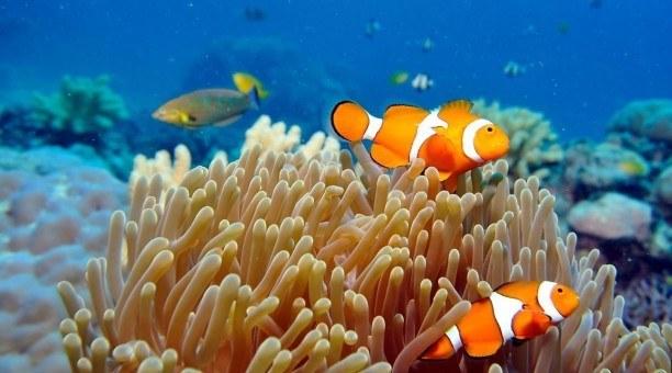 Great Barrier Reef Queensland Australia clownfish