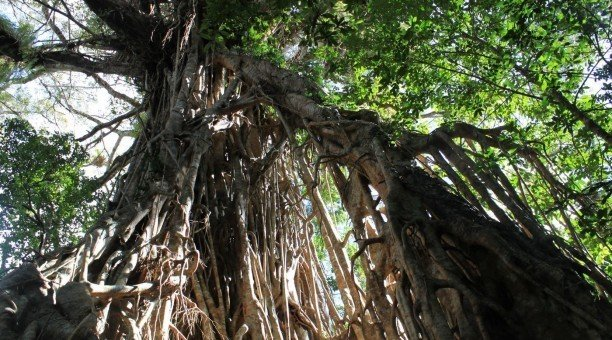 Cathedral fig tree, Atherton Tablelands, North Queensland