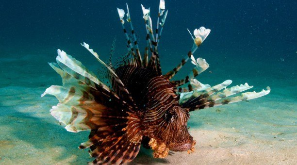 Great Barrier Reef Lionfish