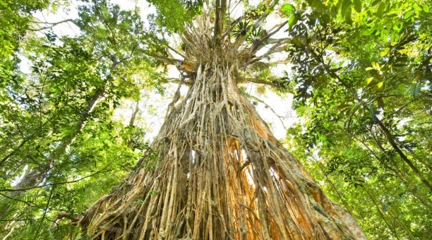 Cathedral fig tree Atherton tablelands