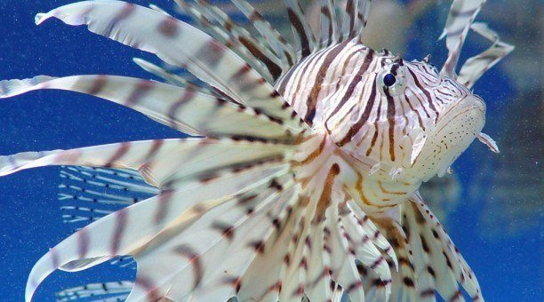 Lionfish Whitsundays