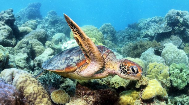 Swim with turtles on the Outer Great Barrier Reefs