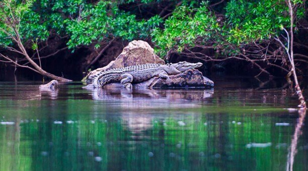 Daintree Rainforest Salt Water Crocodile