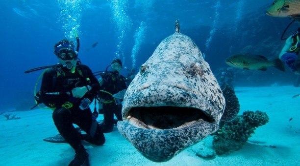 scuba diving the Cod Hole Australia