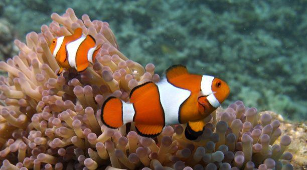 Nemo on the Great Barrier Reef