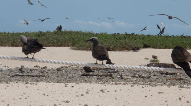 Sea birds with Michaelmas Cay