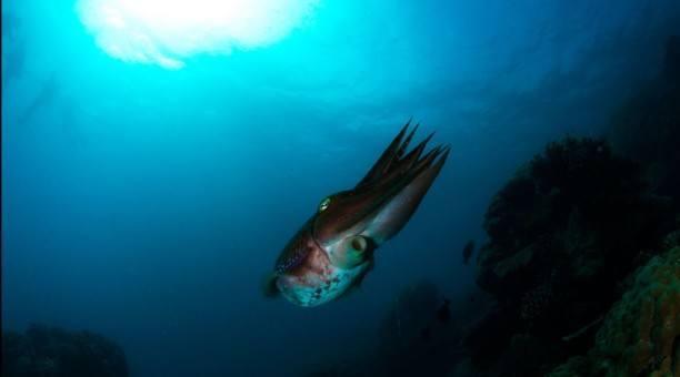 Great Barrier Reef cuttlefish