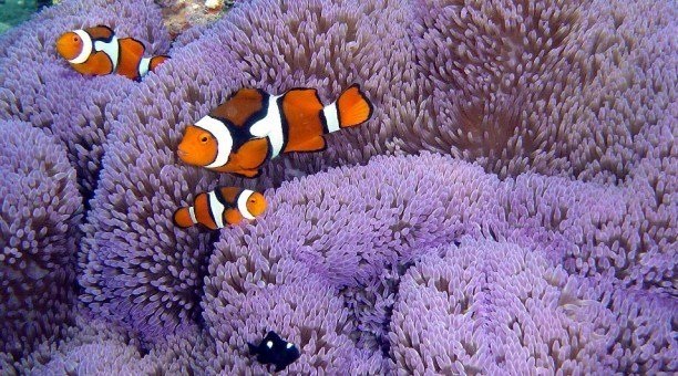find Nemo on the Great Barrier Reef