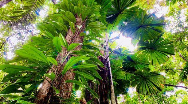 Licuala fan Palm