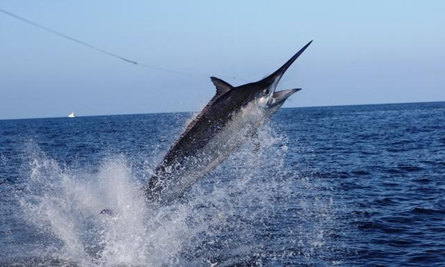 Marlin Fishing Queensland