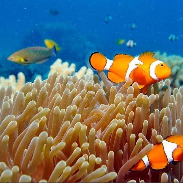 Great Barrier Reef Queensland Australia clownfi