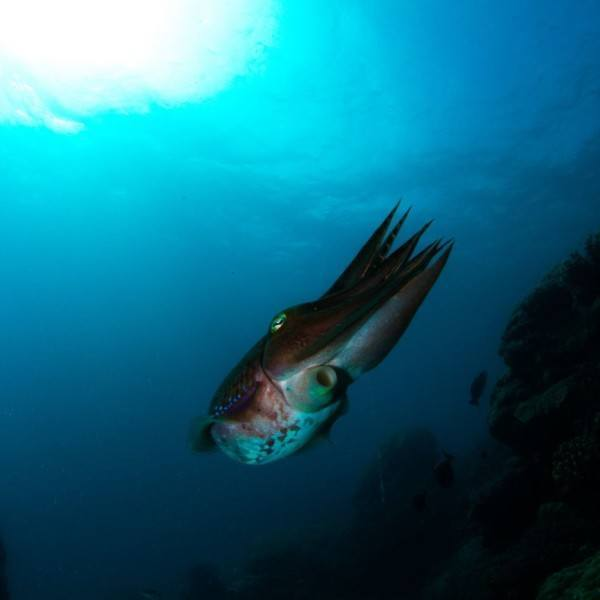 Great Barrier Reef cuttlefish