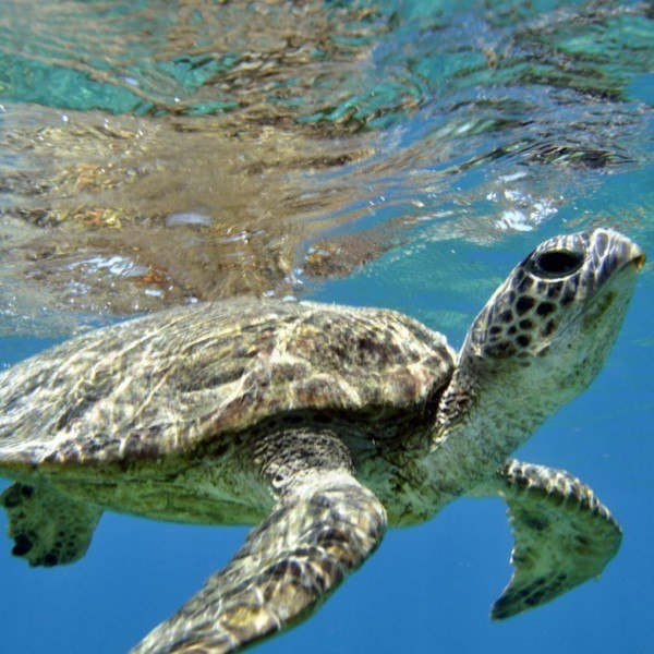 Green Sea turtle, Great Barrier Reef Australia