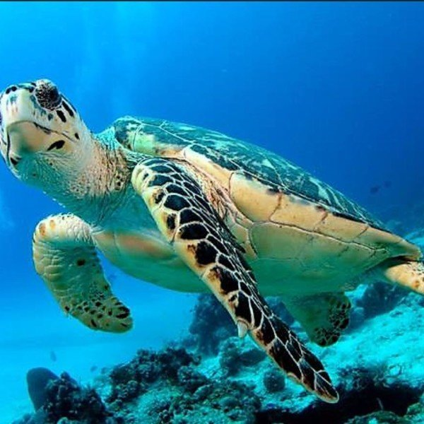 Green Sea Turtle, Gr
