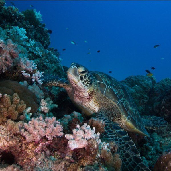 Great Barrier Reef green sea turtle